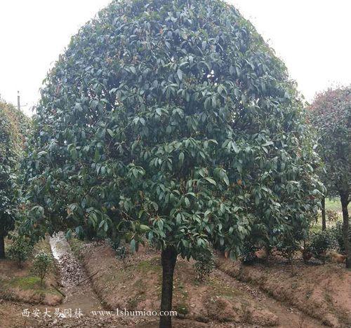 桂花树造型树