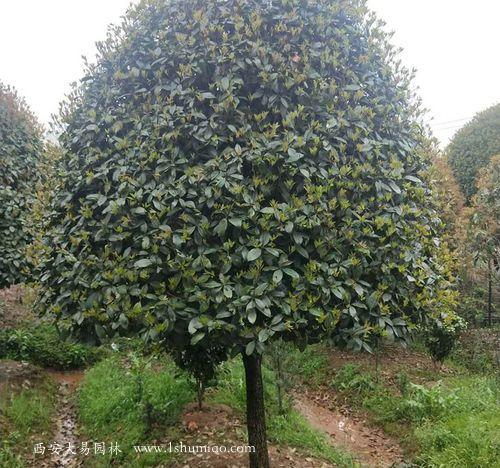 精品桂花树