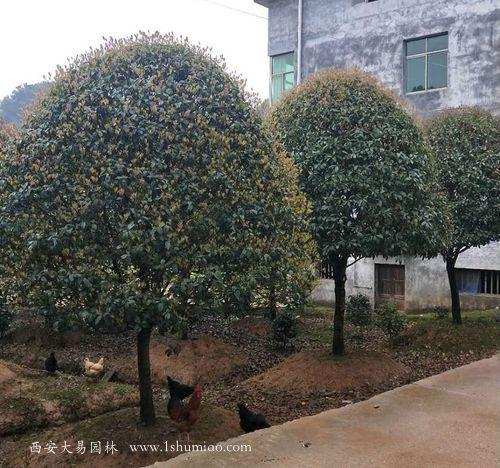 桂花树种植