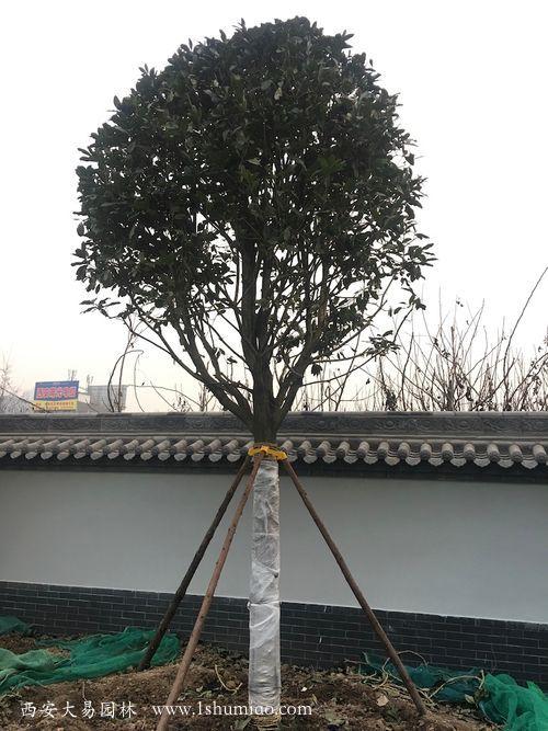 桂花工程苗
