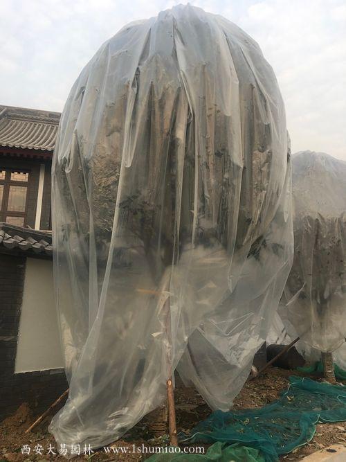 冬季桂花树保暖过冬