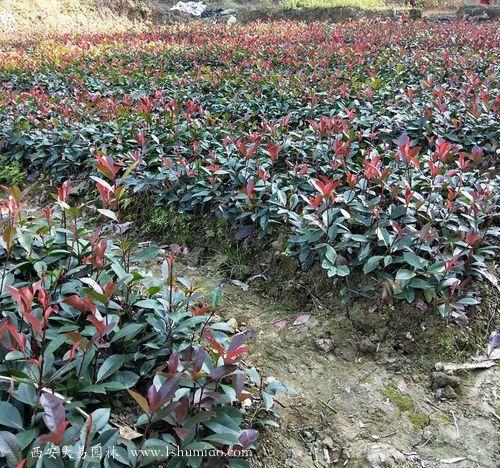 红叶石楠苗圃