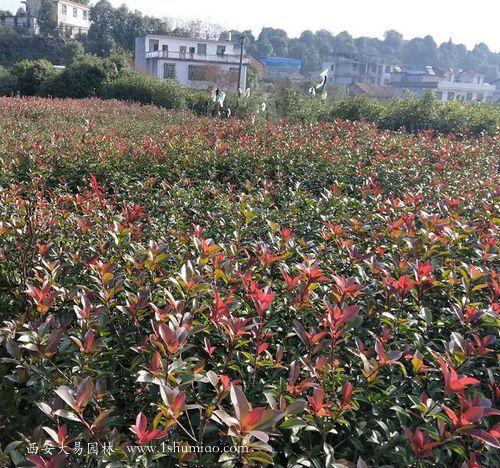 红叶石楠彩叶苗木