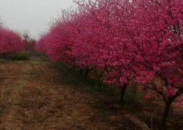 榆叶梅-图片