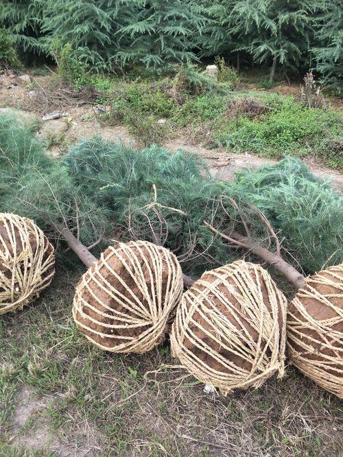 大树移植的时间