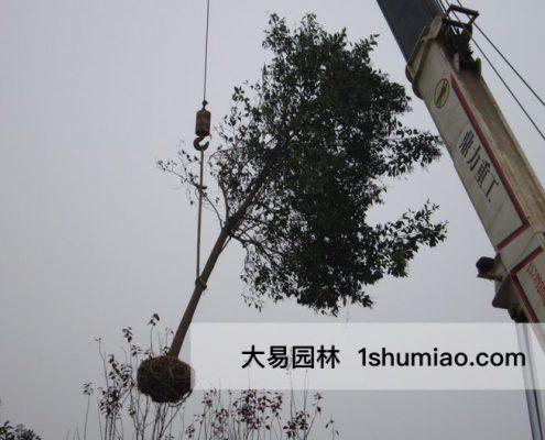 吊装带土球苗木