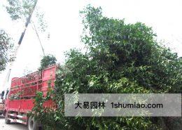 大树移植的条件