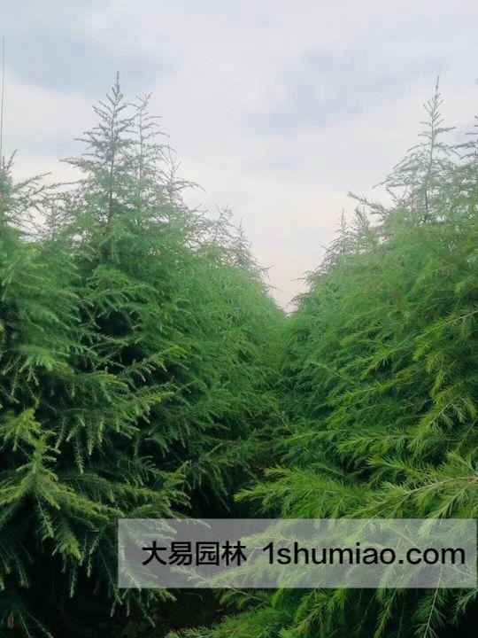 3.5-4米雪松种植