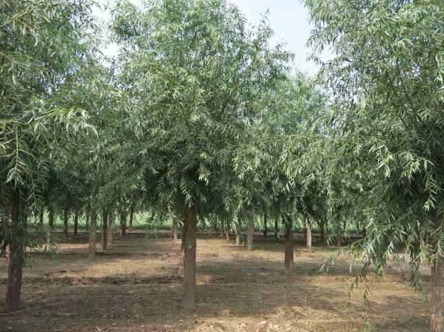 乔木质量要求标准
