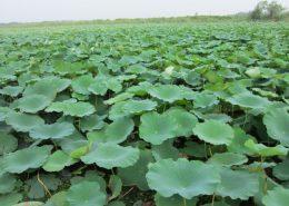 水生植物养护-图片