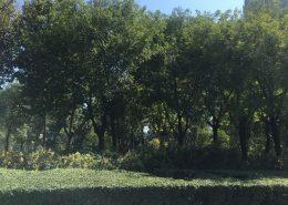 行道树的种植
