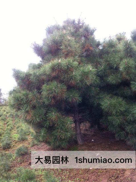 大易园林油松