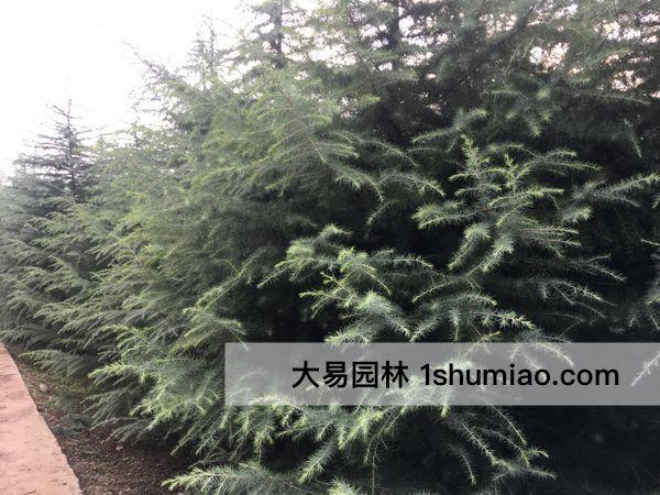 西北苗木种植