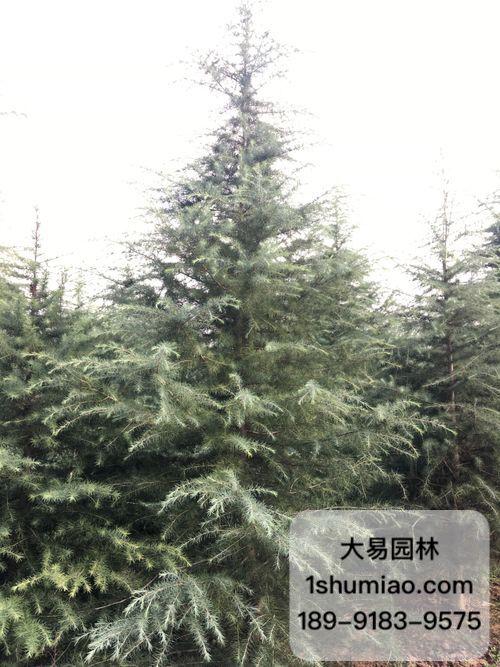 陕西大易园林雪松基地