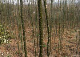 国槐的种植技巧-图片