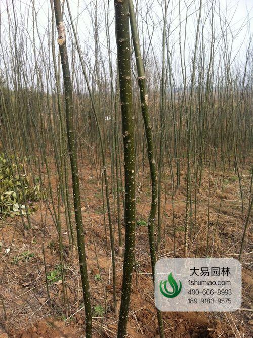 国槐小苗种植