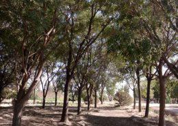 国槐树的优点-图片