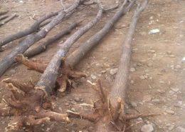 如何提高国槐大树移栽成活率?图片