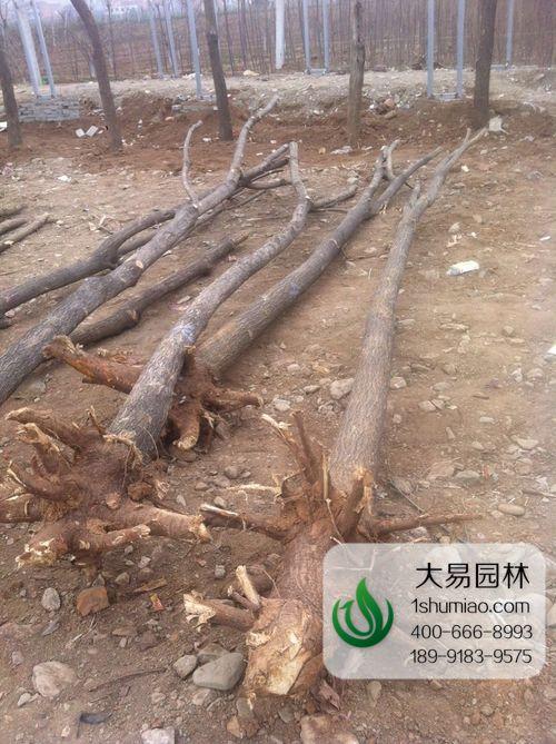 如何提高国槐大树移栽成活率?