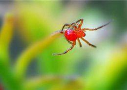 红蜘蛛病虫害