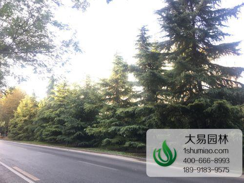 西安道路绿化雪松