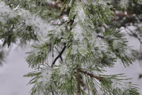 白皮松冬季养护