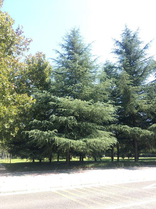 雪松行道树