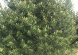 白皮松的种植方法-图片