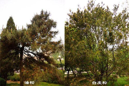 白皮松与油松的区别-大易园林