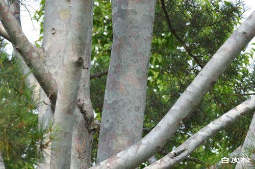 白皮松树皮