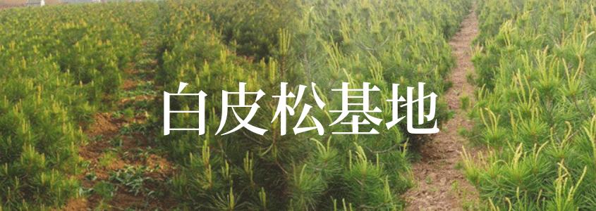 白皮松专题首页banner-大易园林