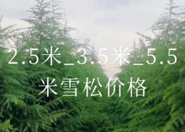 2.5米_3.5米_5.5米雪松价格