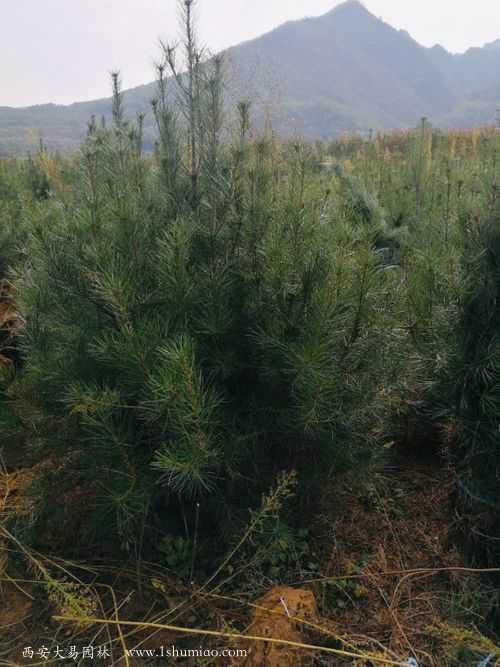 白皮松移植季节