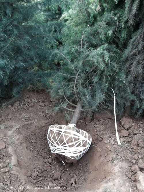 4米雪松二级树挖土球