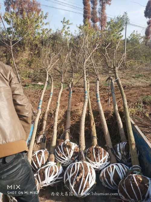 元宝枫今冬货源紧张,价格比较高,建议提早规划挖苗