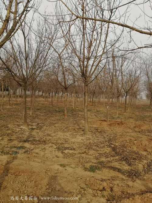 采购基地:大易园林陕西苗木基地