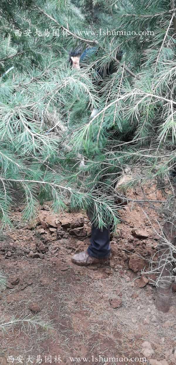 4米雪松土球挖多大?