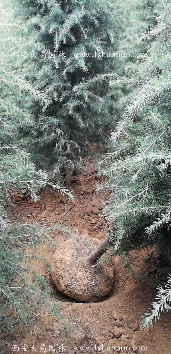 4米雪松最新价格咨询大易园林