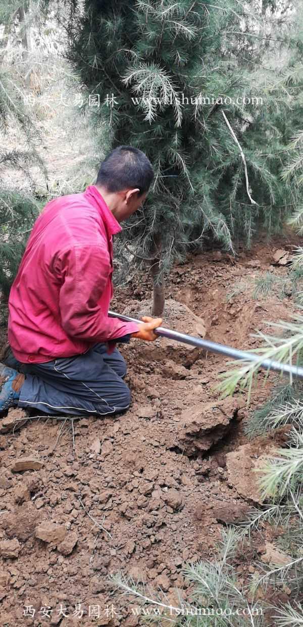 工人在挖土球