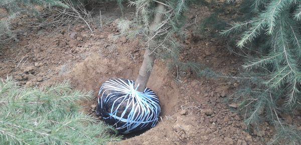 5米雪松�c了�c�^挖树视频