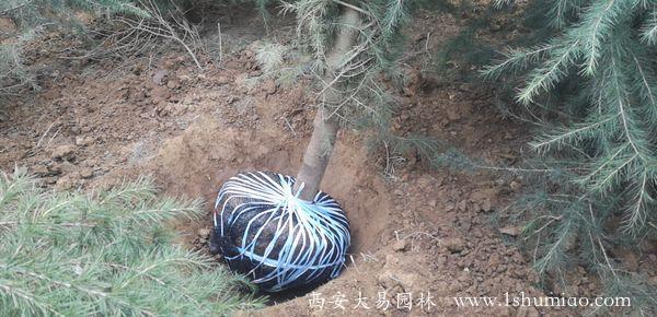 5米雪松陕西苗木