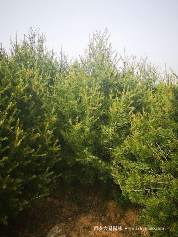 陕西白皮松的绿化应用
