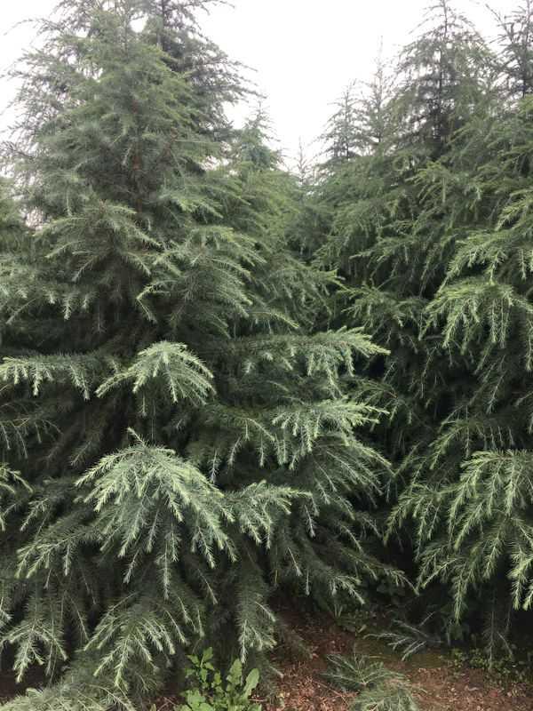 雪松一年四季常绿