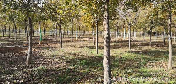 大易园林五角枫基地专业种植,大量供应,欢迎来询