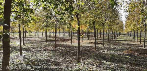 五角枫种植基地陕西西安
