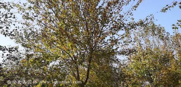 15公分五角枫-大易园林