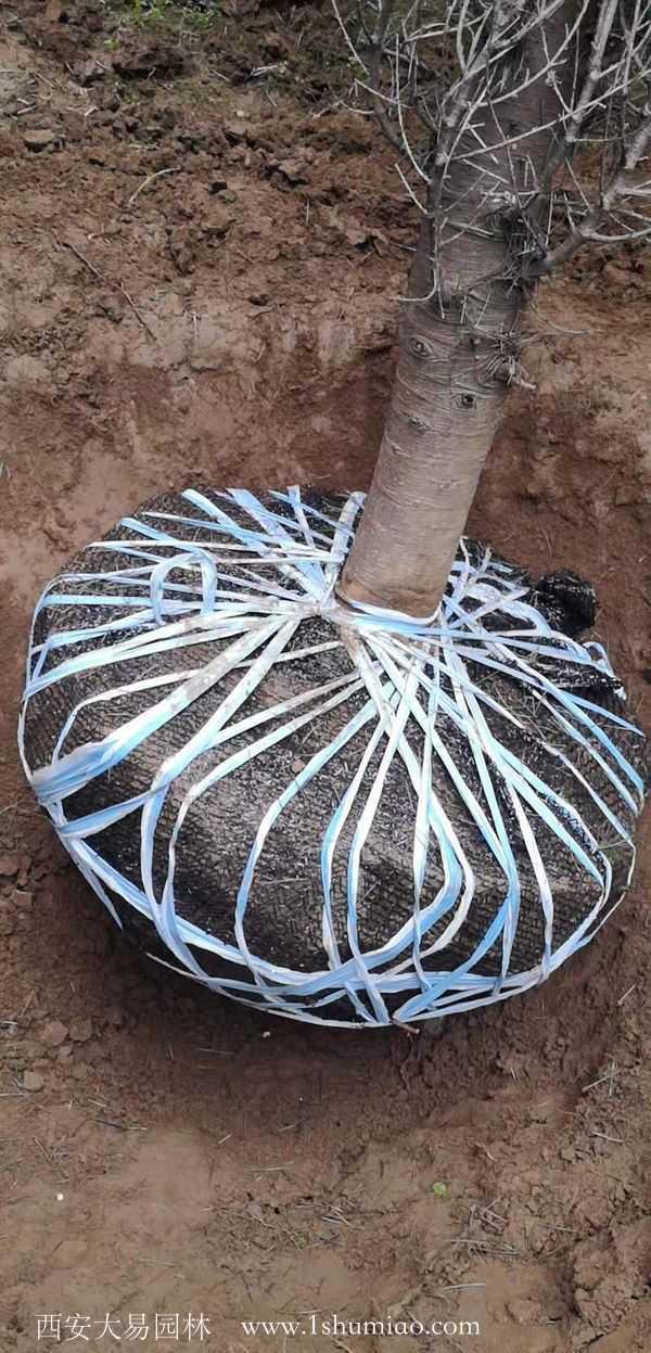 河南雪松客户要求70公分的土球