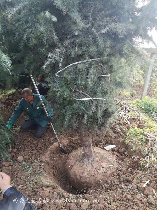 6米雪松挖土球