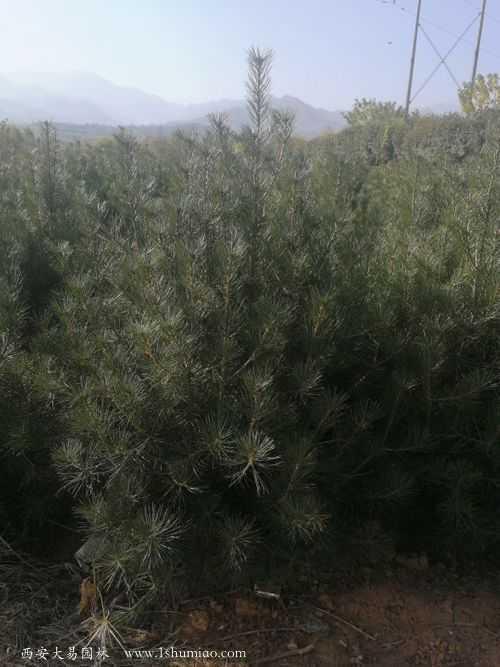 白皮松小苗1.5米