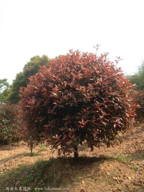 红叶石楠苗木基地